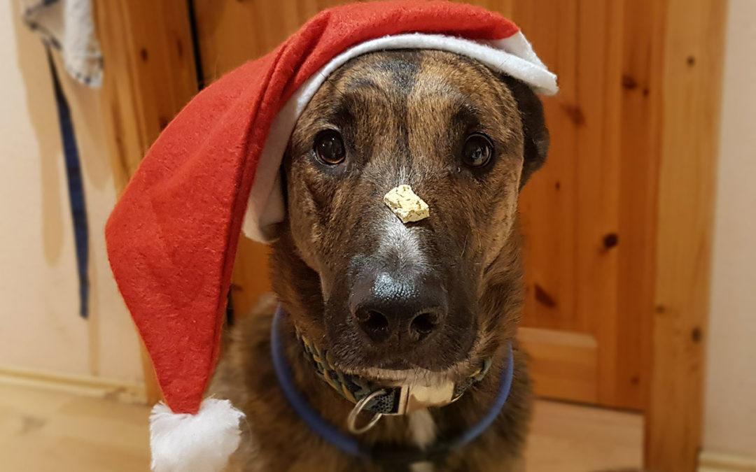 Schäferhund mit Weihnachtsmütze auf und einem Leckerlie auf der Nase